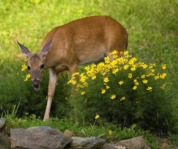 Deer repellent made from human pee