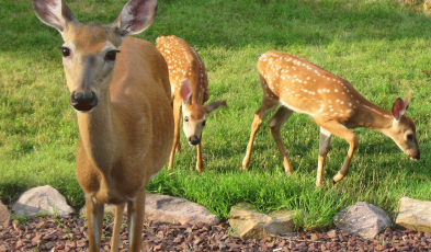 Overpopulation Of Deer Population In The United States